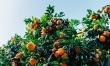 Cytrusy zawierają spore ilości witaminy P oraz C, dzięki czemu wpływają pozytywnie na odporność