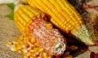 Kukurydza jest bardzo popularna. Jednak sposób przygotowania jest nieco inny niż w Polsce. W USA kukurydzę się grilluje i podaje z masłem
