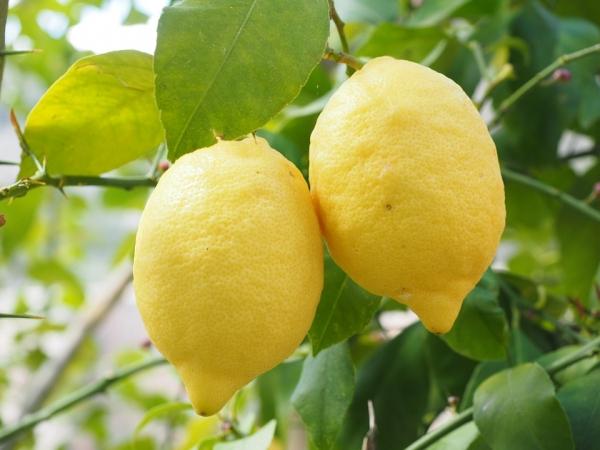 Więcej soku z cytryny