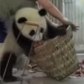 Ma�e pandy, du�e k�opoty? Zobaczcie zabawne nagranie [WIDEO] - ma�e pandy, cuttest pandas, panda zoo