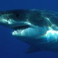 Rekin zaatakowa� surfera podczas zawod�w! [WIDEO] - atak rekina, rekin surfer, rekin film