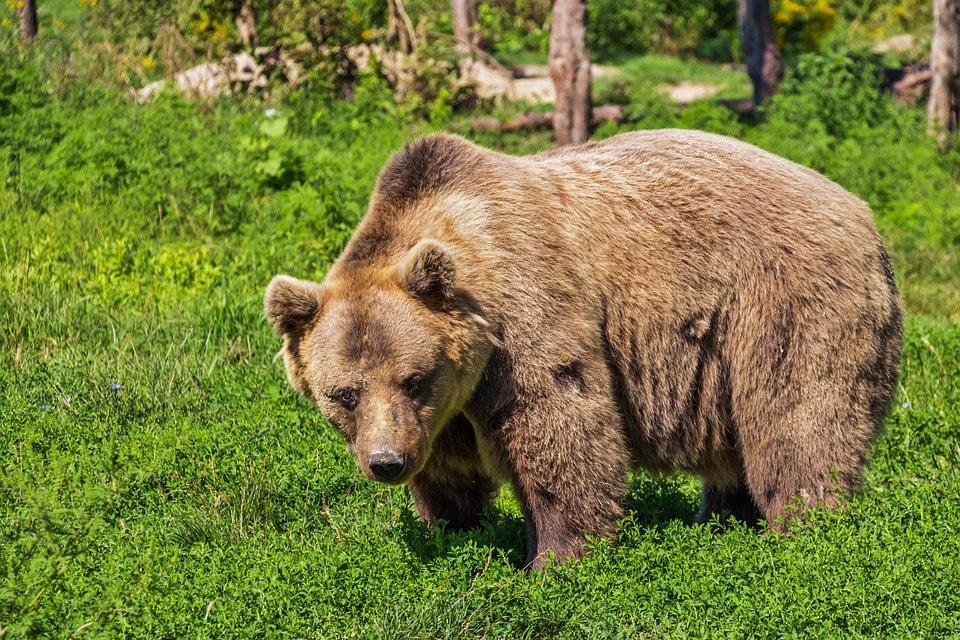 Rodzina niedźwiedzi biega po Zakopanem! Zobaczcie nagranie [WIDEO]