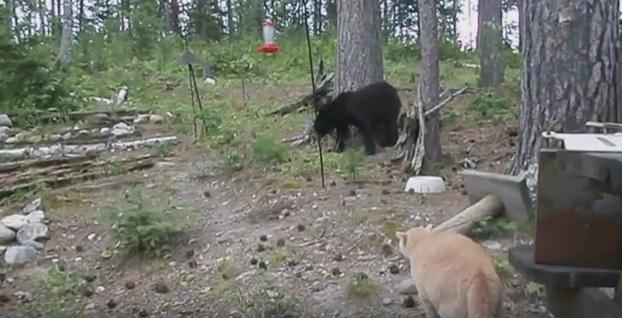 Ten kot przegonił niedźwiedzia na drzewo. Zobaczcie filmik, który bije rekordy w sieci [WIDEO]
