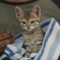 """Najs�odszy kociak �wiata w r�kach gangu! Poznajcie """"Keanu"""" [WIDEO] - keanu zwiastun, keanu film 2016, s�odki kotek, ma�e koty, �mieszne koty"""
