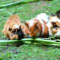 Międzynarodowa Wystawa Świnek Morskich na UR - międzynarodowa wystawa świnek morskich, uniwersytet rolniczy, kraków
