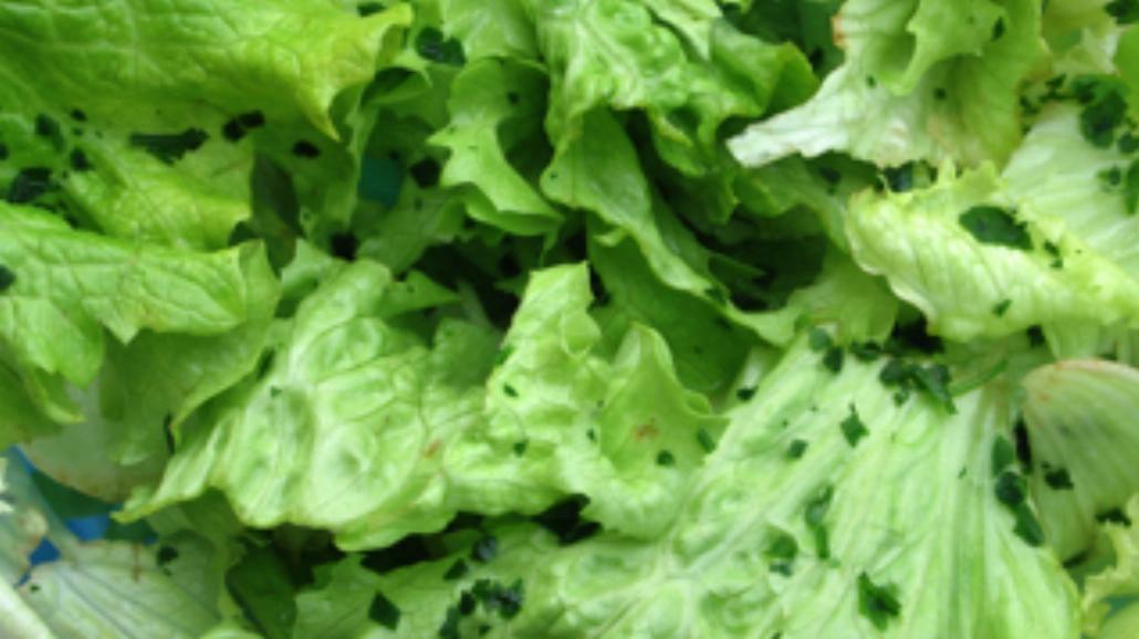 Zielona sałatka z roszponką