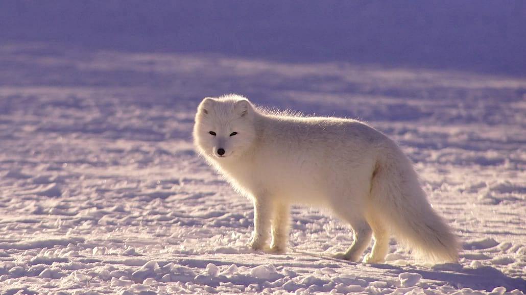 W Tatrach znaleziono lisa polarnego!