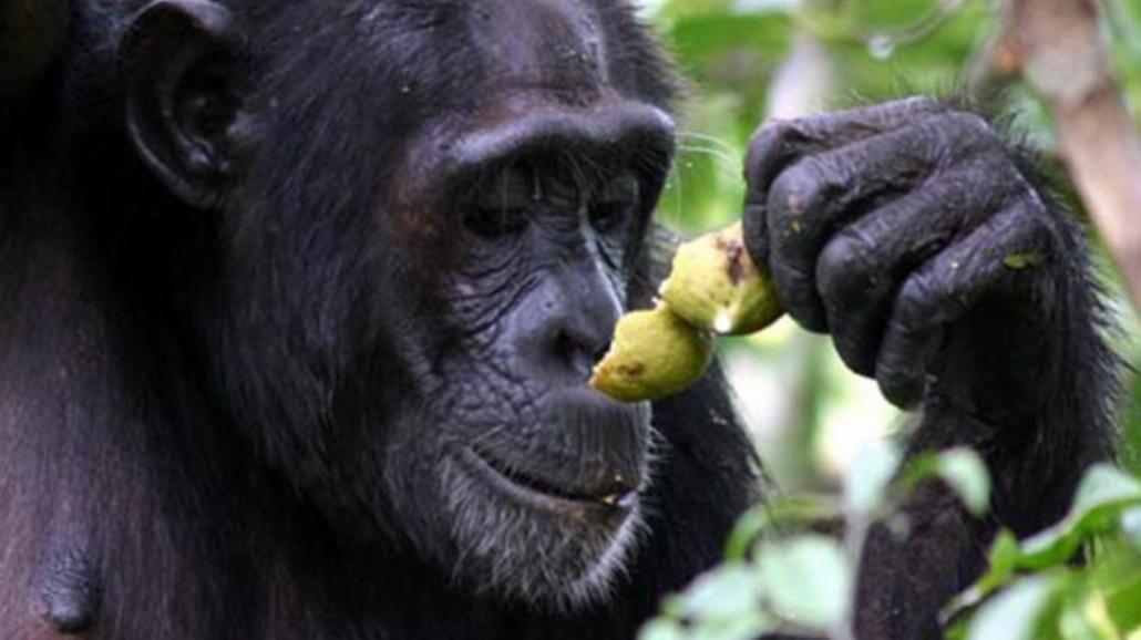 Pijane zwierzęta po zjedzeniu tajemniczego owocu. Uwaga! Prześmieszny film! [WIDEO]