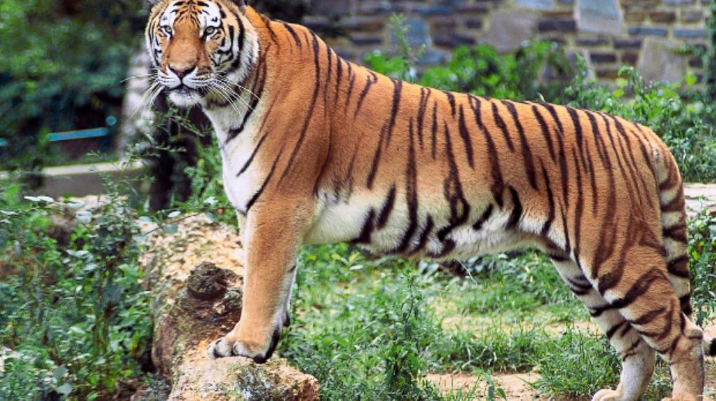 Tygrys zabił swojego opiekuna we wrocławskim zoo