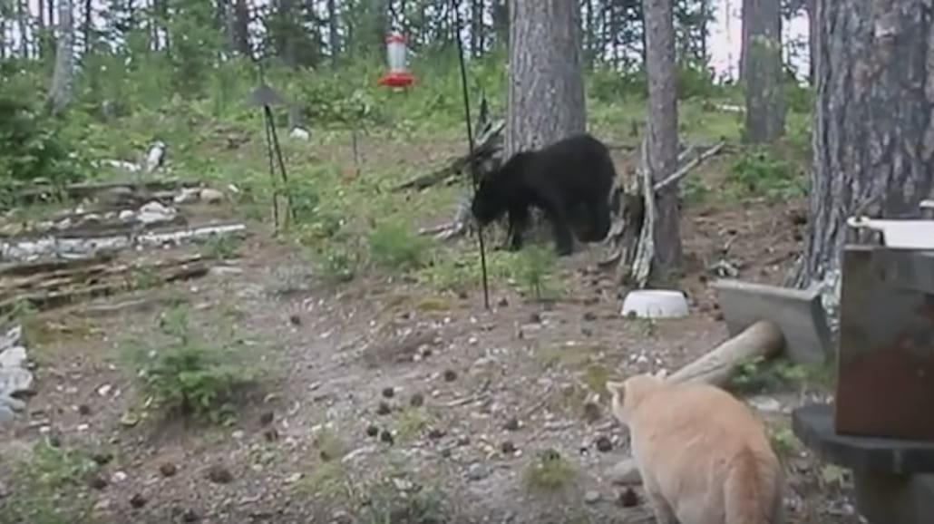 Ten kot przegoniÅ' niedźwiedzia na drzewo. Zobaczcie filmik, ktÃłry bije rekordy w sieci [WIDEO]