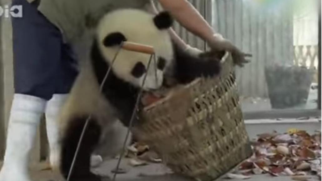Małe pandy, duże kłopoty? Zobaczcie zabawne nagranie [WIDEO]