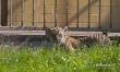 Mały tygrys sumatrzański w ZOO Wrocław  - Zdjęcie nr 12