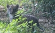 Mały tygrys sumatrzański w ZOO Wrocław  - Zdjęcie nr 11