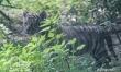 Mały tygrys sumatrzański w ZOO Wrocław  - Zdjęcie nr 10