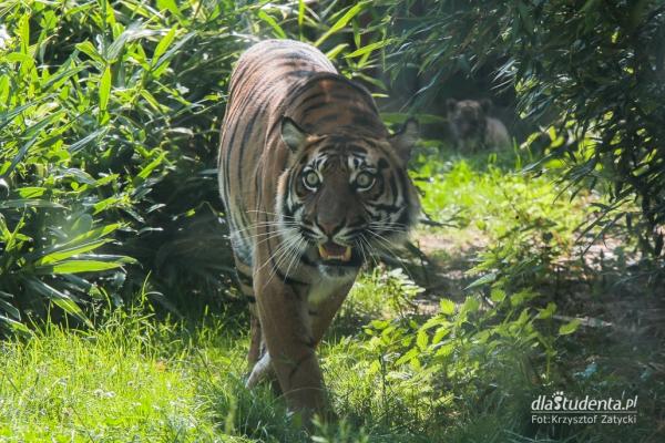 Mały tygrys sumatrzański w ZOO Wrocław  - Zdjęcie nr 5