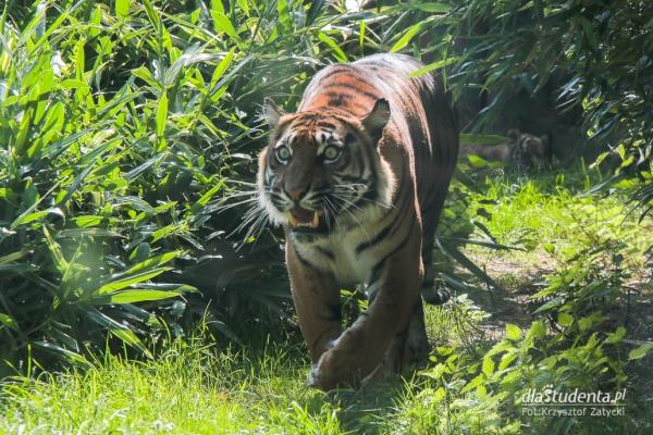 Mały tygrys sumatrzański w ZOO Wrocław  - Zdjęcie nr 4