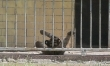Mały tygrys sumatrzański w ZOO Wrocław  - Zdjęcie nr 3