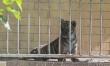 Mały tygrys sumatrzański w ZOO Wrocław  - Zdjęcie nr 2