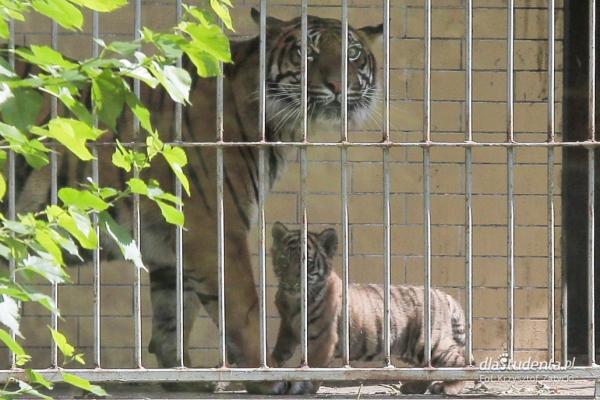 Mały tygrys sumatrzański w ZOO Wrocław  - Zdjęcie nr 1