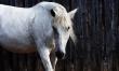 Z Holandii do USA na białym koniu