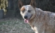 10. Australijski pies pasterski