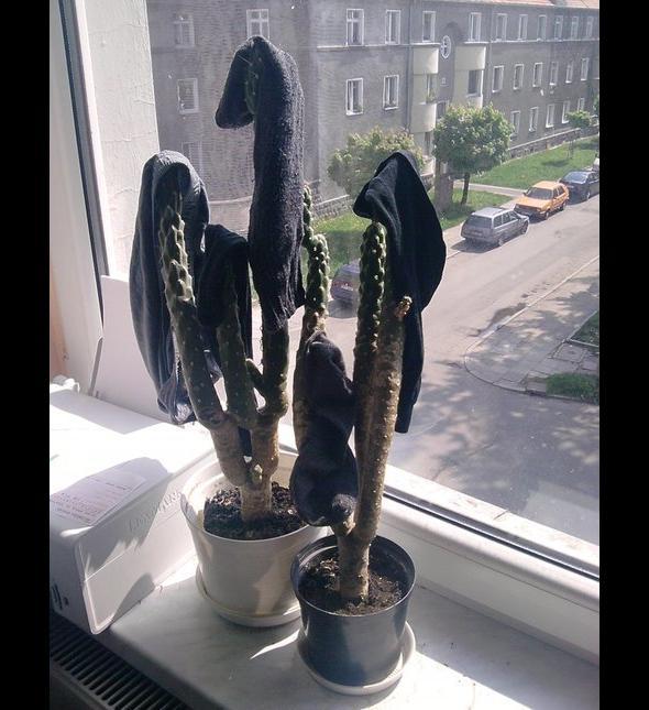 Suszone skarpetki z kaktusa - tylko na studiach