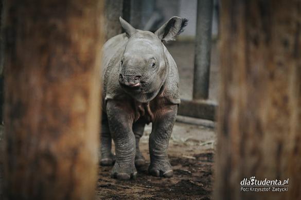 Uroczyste nadanie imienia nosorożcowi indyjskiemu we Wrocławiu