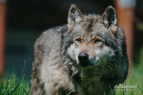 Z wilkami w Zoo Wrocław