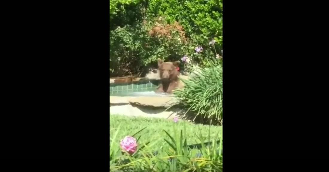 Zobacz filmik, w którym widać, jak niedźwiedź urządził sobie kąpiel w basenie!