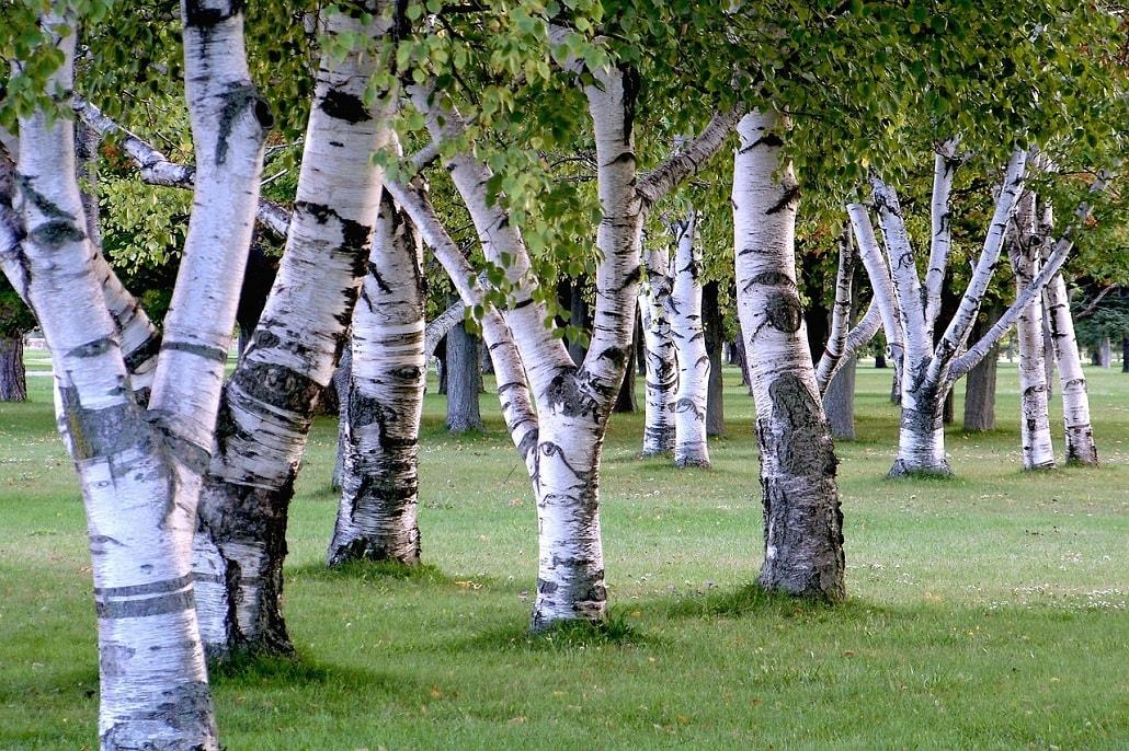 Brzozy, drzewa, polana