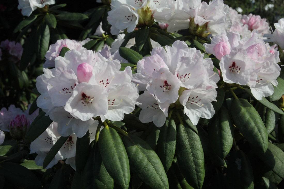 Pracownicy UR złożyli wniosek o przyznanie wyłącznego prawa do ochrony dla nowej oryginalnej polskiej odmiany różanecznika.