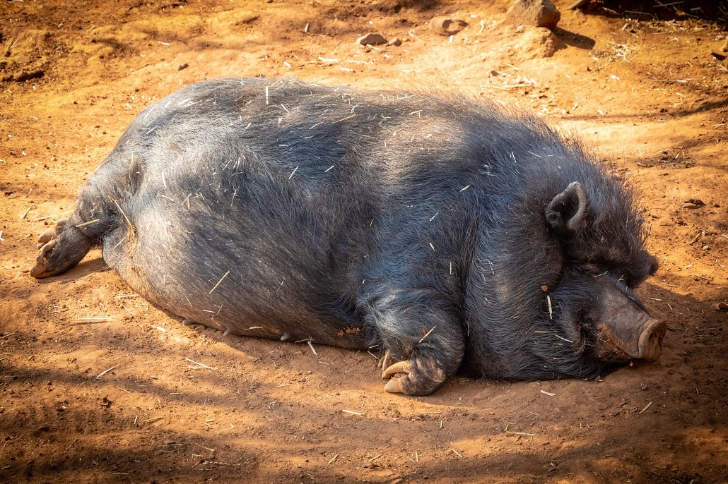 Włochata świnia śpi