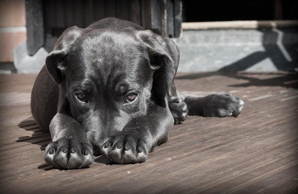 Smutny pies, szczeniak, czarny, labrador