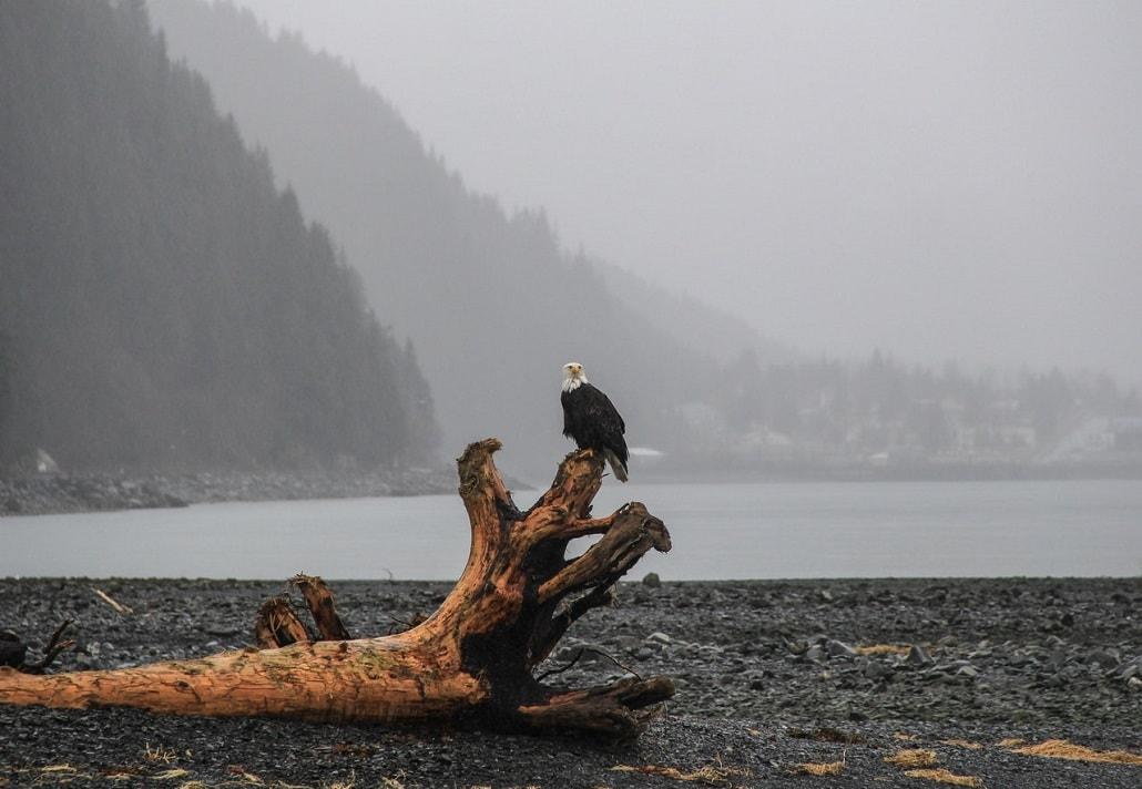 Krajobraz Alaski, Orzeł na gałęzi