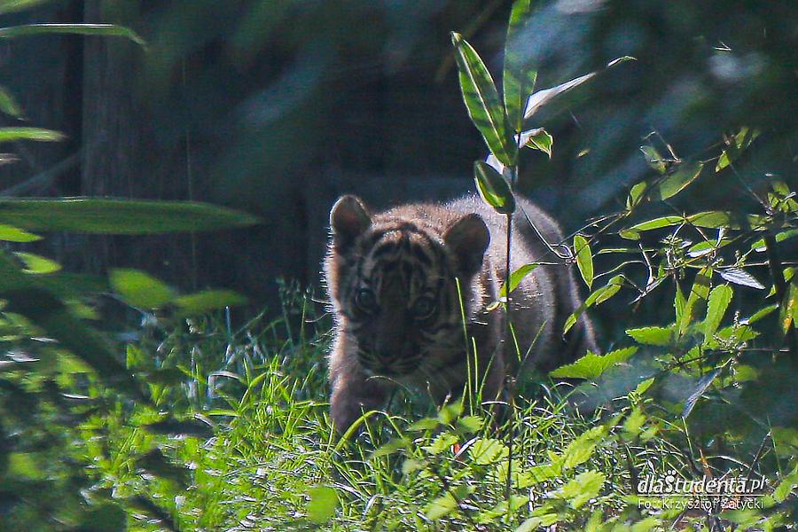Tygrys sumatrzański w Zoo Wrocław