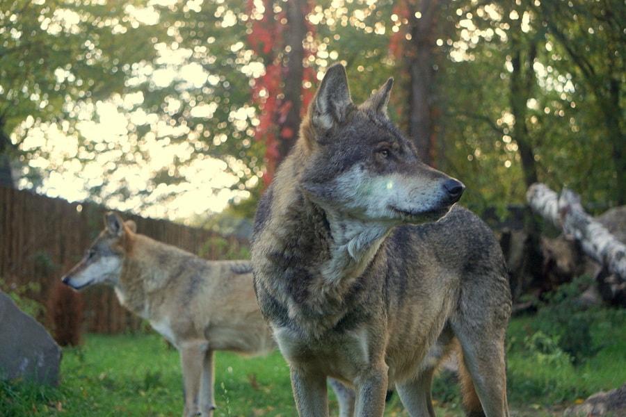 wilki szare zoo wrocław