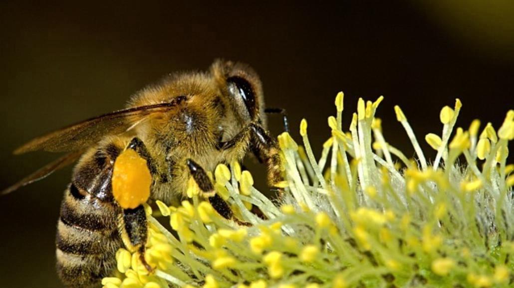 Propolis, czyli kit pszczeli. Zastosowanie, działanie, przepisy