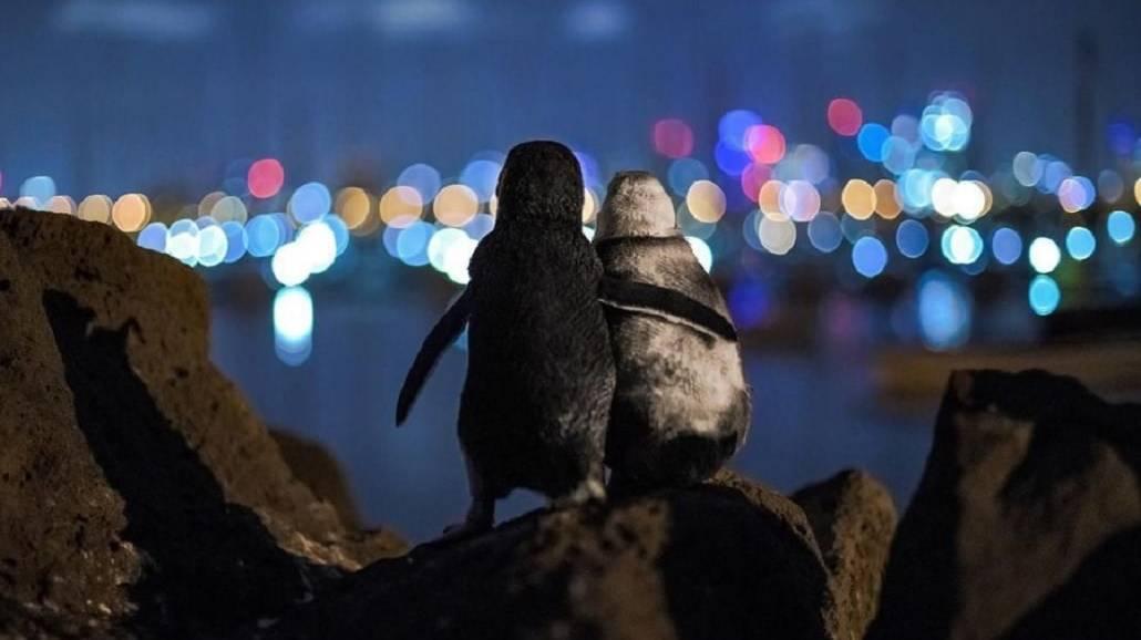 Pocieszające się pingwiny