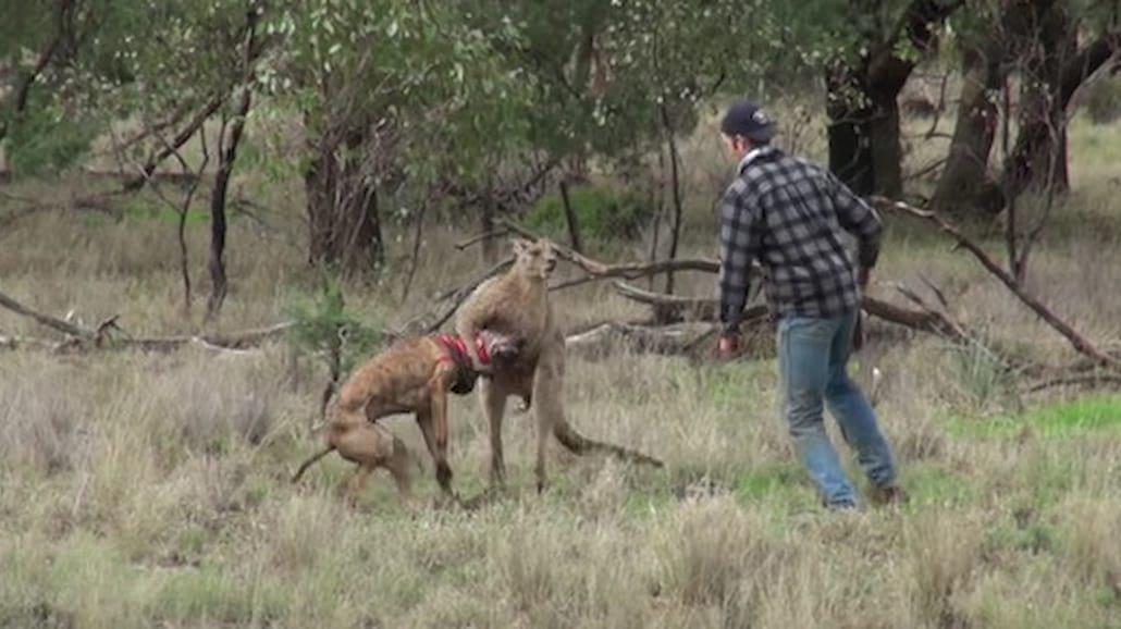 Mężczyzna uratował psa przed duszącym go kangurem! Mocne nagranie [WIDEO]