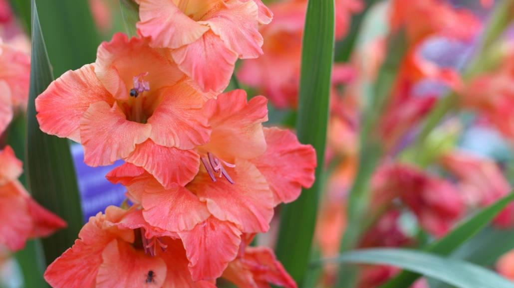 Jakie kwiaty cebulowe sadzić wiosną?