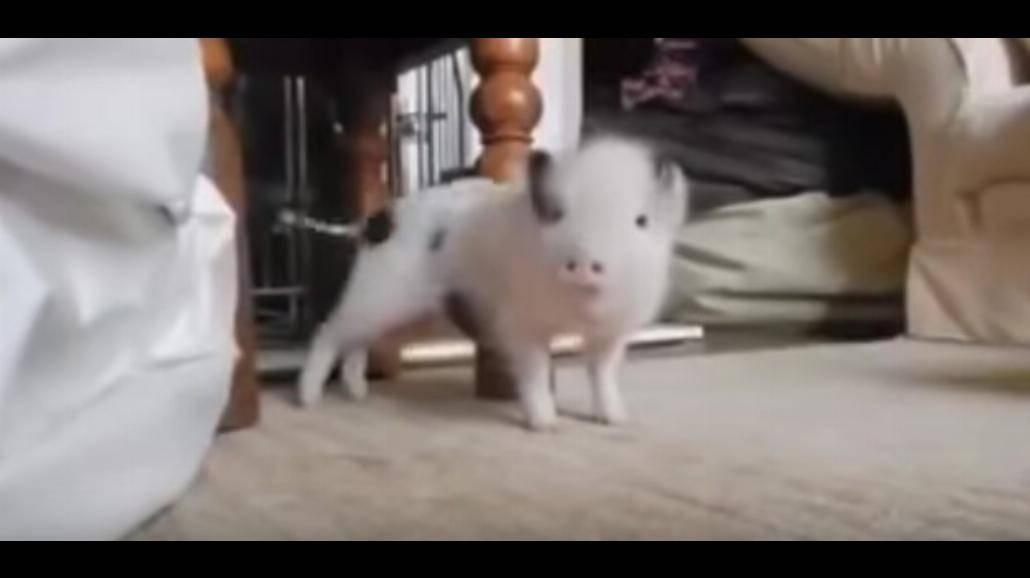 """Ten filmik pokochał cały świat! Świnka tańczy do piosenki """"Work"""" Rihanny! [WIDEO]"""