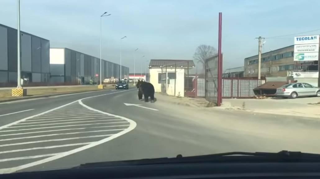 Zobacz filmik, na ktÃłrym zarejestrowano niedźwiedzia na ulicach w Braszowie!