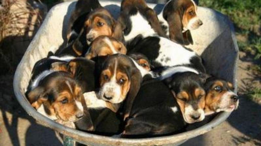 Bassety to najfajniejsze psy na świecie!