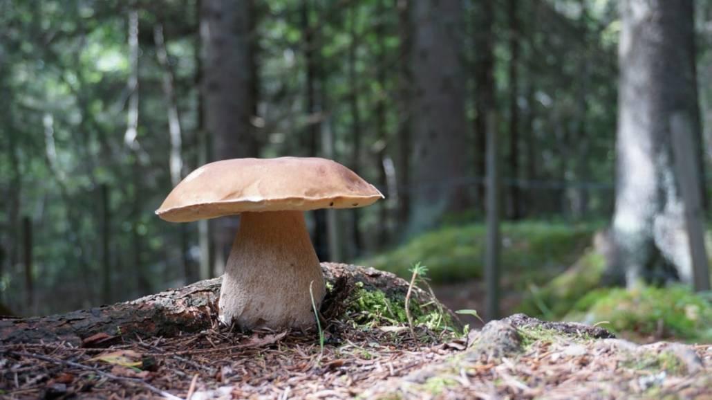 Browiki, gąski, kanie i inne. Zobacz, ktÃłre grzyby są jadalne.