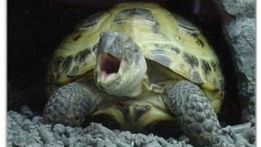 Antynoble: czy u żółwi ziewanie jest zaraźliwe?