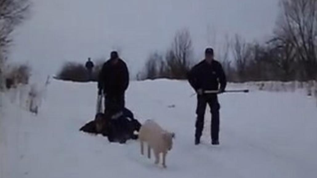 Świnka z Sokółki ucieka przed policją (WIDEO)