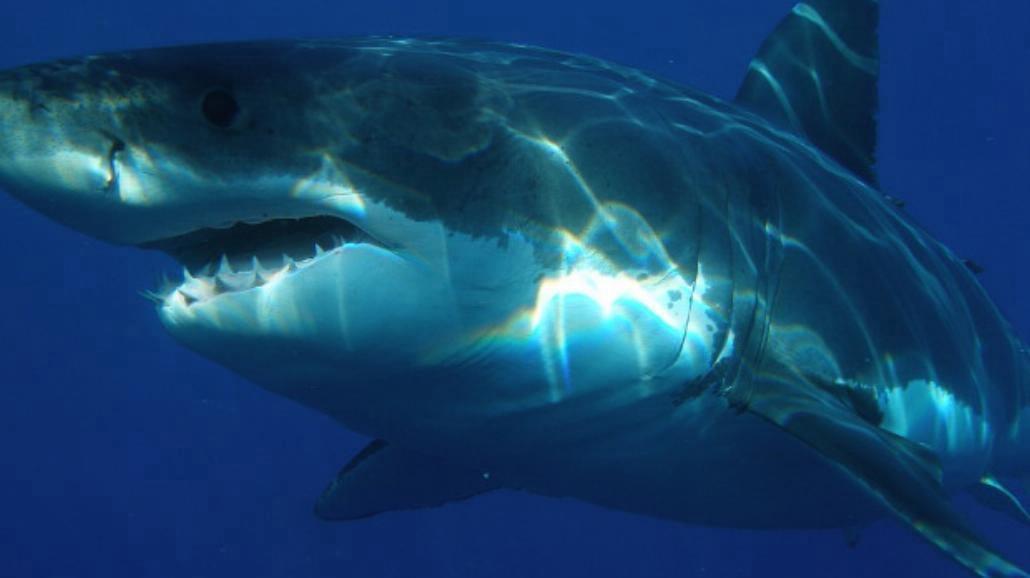 Rekin zaatakował surfera podczas zawodów! [WIDEO]