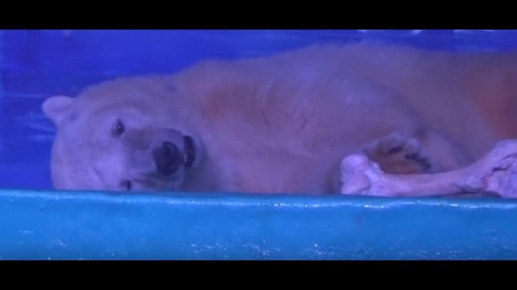 Najsmutniejszy polarny niedźwiedź więziony w centrum handlowym [WIDEO]