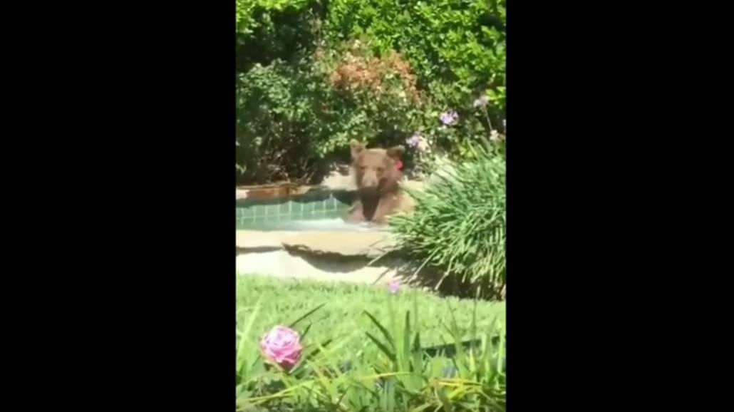 Zobacz filmik, w ktÃłrym widać, jak niedźwiedź urzÄ…dziÅ' sobie kÄ…piel w basenie!