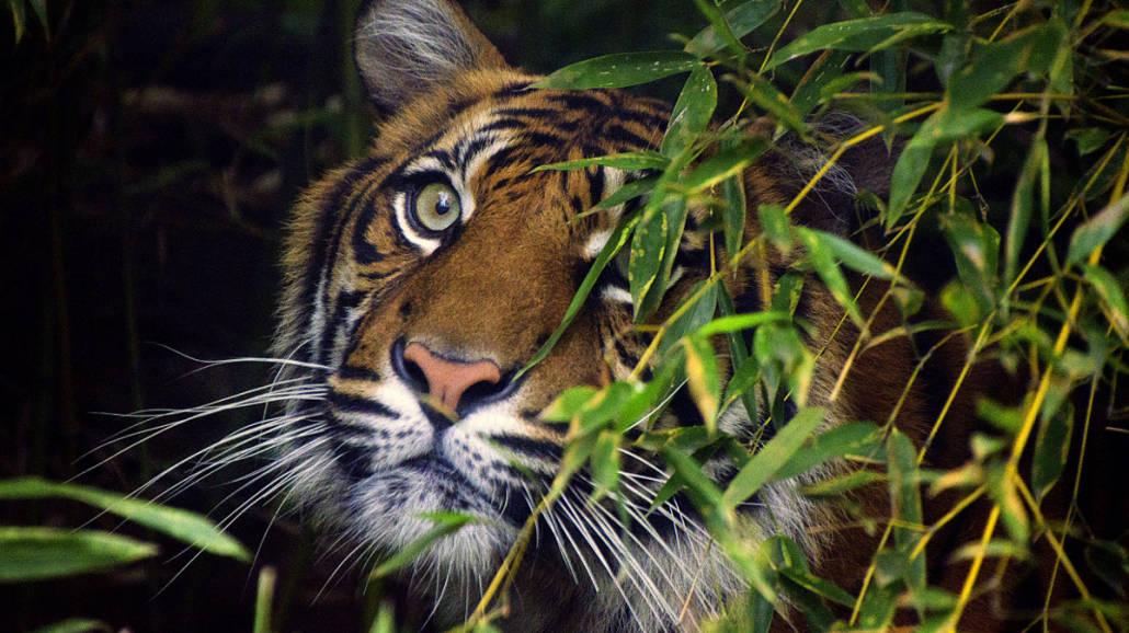 Tygrysy Zoo Wocław